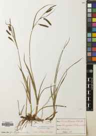 Carex flacca herbarium specimen from Lairige Pass, VC88 Mid Perthshire in 1897 by Mr Alexander Somerville.