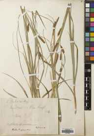 Carex flacca herbarium specimen from Ben Laoigh [Ben Lui], VC88 Mid Perthshire in 1894 by David Paul.