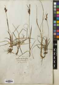 Carex flacca herbarium specimen from Creag na Caillich, VC88 Mid Perthshire in 1828.