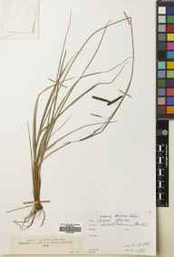 Carex flacca herbarium specimen from Ben Lui, VC88 Mid Perthshire in 1881.