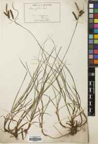 Carex flacca herbarium specimen from Cherrybank, VC88 Mid Perthshire in 1889 by Robert Hunt Meldrum.