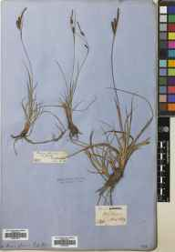 Carex flacca herbarium specimen from Caputh, VC88 Mid Perthshire in 1860 by Patrick Neill Fraser.