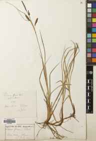 Carex flacca herbarium specimen from Clova,Glen Doll [Glen Dole], VC90 Angus in 1900 by Rev. Edward Shearburn Marshall.