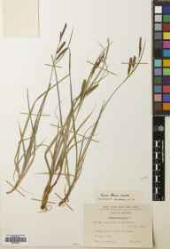 Carex flacca herbarium specimen from Skelbo, VC107 East Sutherland in 1962 by John Anthony.