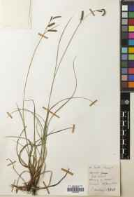 Carex flacca herbarium specimen from River Naver, VC108 West Sutherland in 1968 by John Anthony.