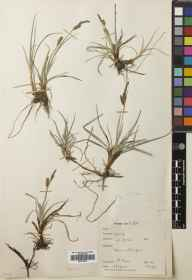 Carex flacca herbarium specimen from Gerinish, VC110 Outer Hebrides in 1951 by Peter Hadland Davis.