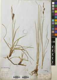 Carex flacca herbarium specimen from VC101 Kintyre in 1865.