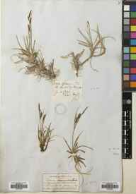 Carex flacca herbarium specimen from Cambridge, VC29 Cambridgeshire in 1838 by John Ball.