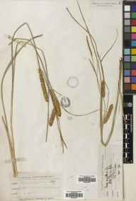 Carex rostrata herbarium specimen from Welwyn, Fulling Mill, VC20 Hertfordshire in 1875 by Mr Thomas Bates Blow.