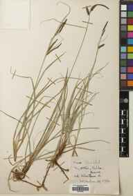 Carex flacca herbarium specimen from Cheddar, VC6 North Somerset in 1954 by Douglas Mackay Henderson.