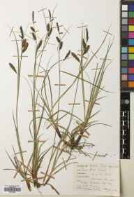 Carex flacca herbarium specimen from Dyke, VC95 Moray in 1966 by Mary McCallum Webster.