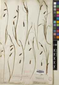 Carex flacca herbarium specimen from Walworth, VC17 Surrey in 1902 by Charles Baron Clarke.