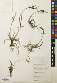 Carex flacca herbarium specimen from South Stack, VC52 Anglesey in 1955 by I J B Robertson.