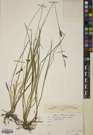 Carex panicea herbarium specimen from West Linton, VC78 Peeblesshire in 1883 by Mr Alexander Craig Christie.