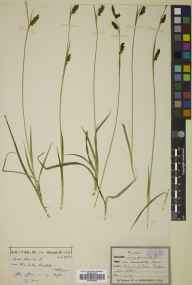 Carex panicea herbarium specimen from Clova, VC90 Angus in 1904 by Dr William Andrew Shoolbred.