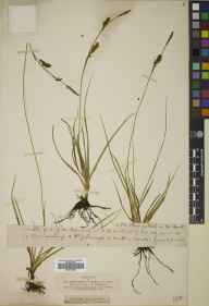Carex panicea herbarium specimen from Brodie, VC95 Moray in 1804.