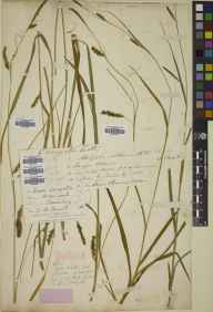 Carex laevigata herbarium specimen from Bomere Pool, VC40 Shropshire in 1860 by John Atmore Knights.