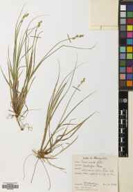 Carex canescens herbarium specimen from Ochtertyre Moss, VC86 Stirlingshire in 1957 by Brian Lawrence Burtt.