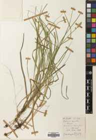 Carex canescens herbarium specimen from Bettyhill, VC108 West Sutherland in 1968 by John Anthony.