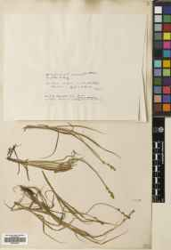 Carex canescens herbarium specimen from Ben Lawers, VC88 Mid Perthshire in 1906 by Mr Cecil Prescott Hurst.