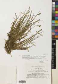 Carex canescens herbarium specimen from Cow Green, VC66 County Durham in 1969 by G Robinson.