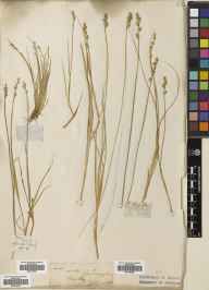 Carex canescens herbarium specimen from Belfast Botanic Garden, VCH39 Co. Antrim in 1849.
