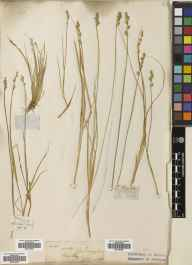 Carex canescens herbarium specimen collected in 1888.
