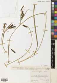 Carex acutiformis herbarium specimen from Clauchland Point, VC100 Clyde Islands in 1933 by Mr Robert MacKechnie.