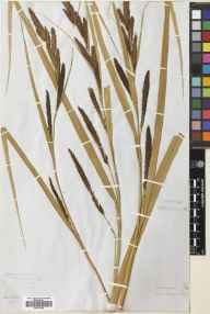 Carex riparia herbarium specimen from Beal, VC68 North Northumberland in 1882.
