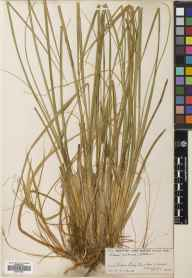 Carex rostrata herbarium specimen from Creag Coire Doe, VC96 East Inverness-shire in 1904 by George T West.