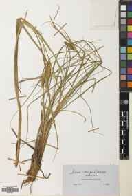 Carex rostrata herbarium specimen from Glen Affric, VC96 East Inverness-shire in 1850 by John Ball.