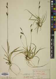 Carex panicea herbarium specimen from Pitlochry, VC89 East Perthshire in 1891 by Mr Alexander Somerville.