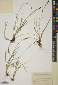 Carex panicea herbarium specimen from Heathlands, VC22 Berkshire in 1947 by Brian Lawrence Burtt.