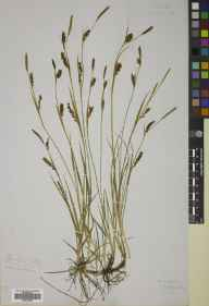 Carex panicea herbarium specimen from Belford, VC68 North Northumberland in 1881.
