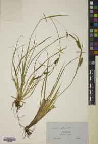 Carex panicea herbarium specimen from Llangefni, VC52 Anglesey in 1850 by John Ball.