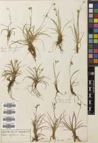 Carex capillaris herbarium specimen from Teesdale, VC65,VC66 in 1903.