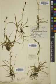 Carex vaginata herbarium specimen from Beinn Laoigh [Ben Lui], VC98 Argyllshire in 1887 by Peter Ewing.