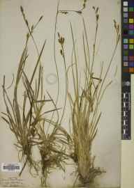 Carex vaginata herbarium specimen from Chailleach, VC106 East Ross & Cromarty in 1844.