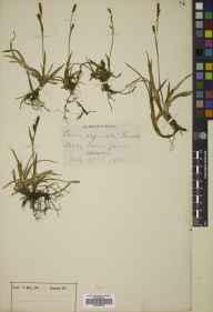 Carex vaginata herbarium specimen from Cairn Gorm, VC94,VC96 in 1885 by Mr Frederick Janson Hanbury.