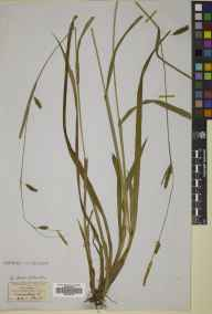 Carex laevigata herbarium specimen from Penmanshiel, VC81 Berwickshire in 1851 by Dr George Johnston.