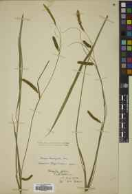 Carex laevigata herbarium specimen from Humbie, VC82 East Lothian in 1904 by William Edgar Evans.