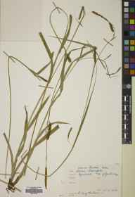 Carex laevigata herbarium specimen from Tynehead, VC83 Midlothian in 1858 by Mr Alexander Craig Christie.