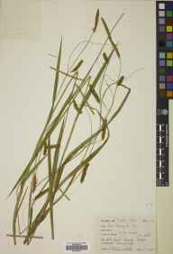 Carex laevigata herbarium specimen from Dounduff, VC95 Moray in 1967 by Mary McCallum Webster.