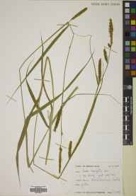 Carex laevigata herbarium specimen from Ballindalloch Castle, VC94,VC95 in 1983 by Mary McCallum Webster.