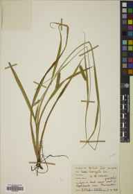 Carex laevigata herbarium specimen from Pluscarden Abbey, VC95 Moray in 1968 by M M Callum Webster.
