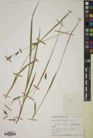 Carex laevigata herbarium specimen from Ardclach, VC96 East Inverness-shire in 1973 by Mary McCallum Webster.