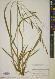 Carex laevigata herbarium specimen from Lagg, VC100 Clyde Islands in 1897 by Mr Alexander Somerville.