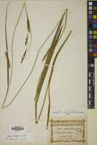 Carex laevigata herbarium specimen from Corriegills Head, VC100 Clyde Islands in 1869 by Mr Alexander Craig Christie.