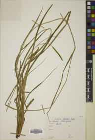 Carex laevigata herbarium specimen from Bute, VC100 Clyde Islands.