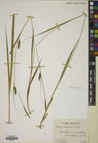 Carex laevigata herbarium specimen from Banchory, VC91 Kincardineshire in 1939 by Mr Edward Charles Wallace.